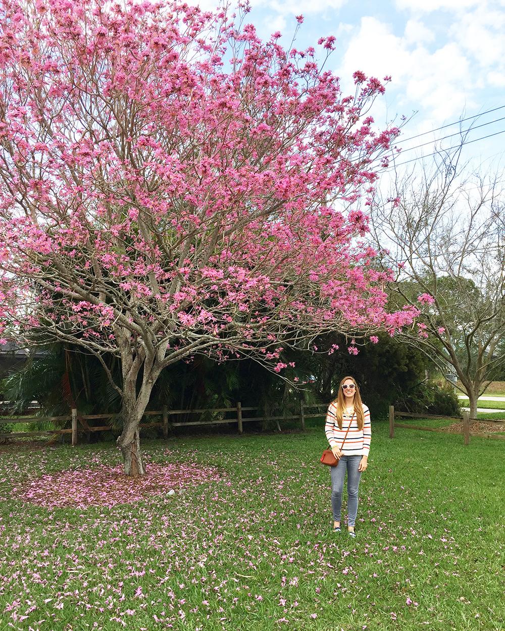 Pink_Dogwood_Tree10