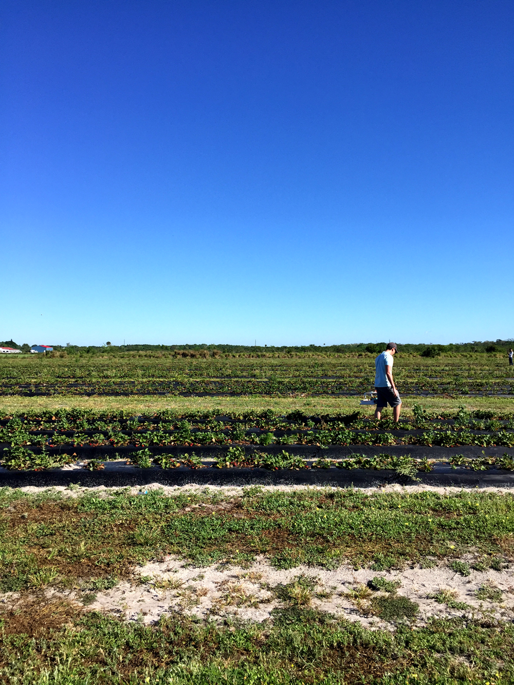 Strawberry Picking at Sledd's Farm