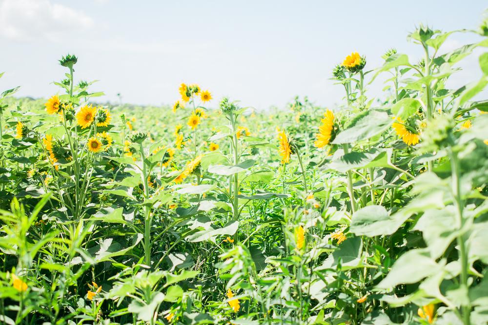 mims_sunflower_maze-20