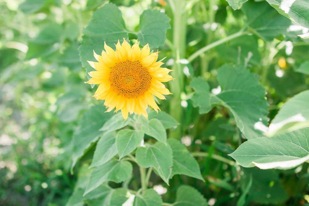 mims_sunflower_maze-32