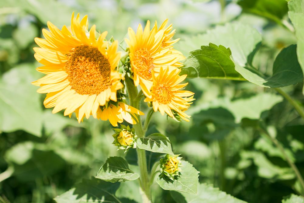 mims_sunflower_maze-37
