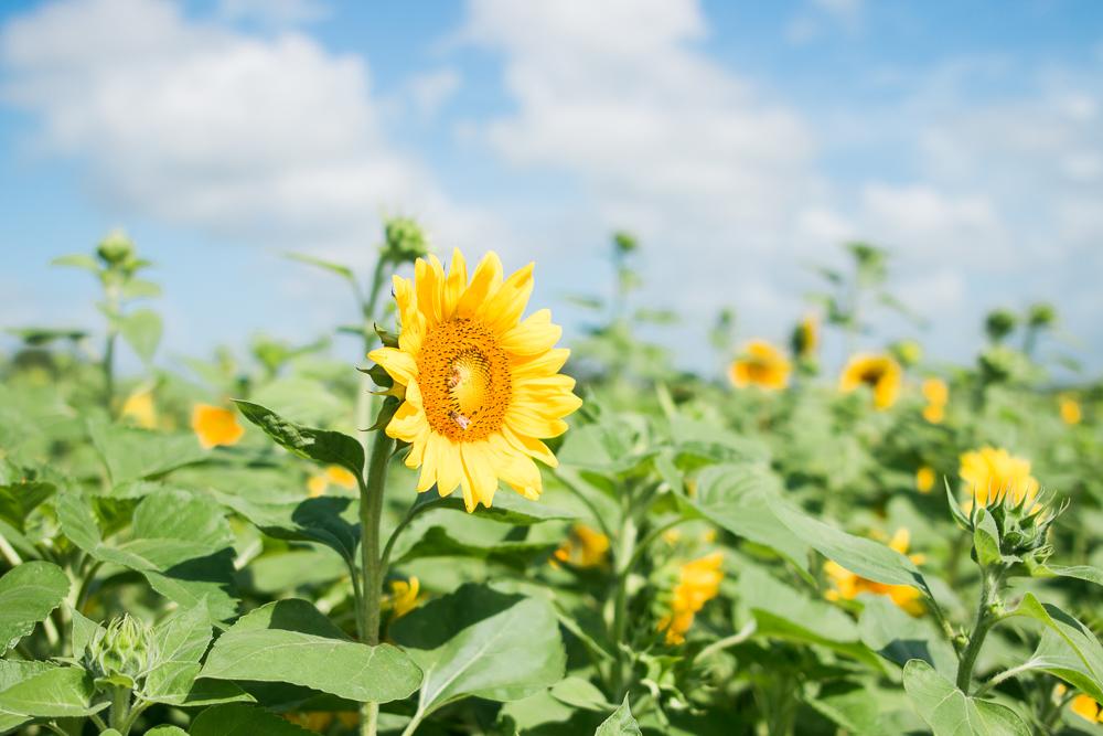 mims_sunflower_maze-38